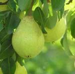 Baumschnitt gehört zur fachgerechten Pflege von Obstbäumen